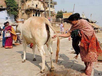 drinking cow urine