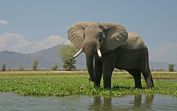 B732A3 Bull elephant in the Zambezi